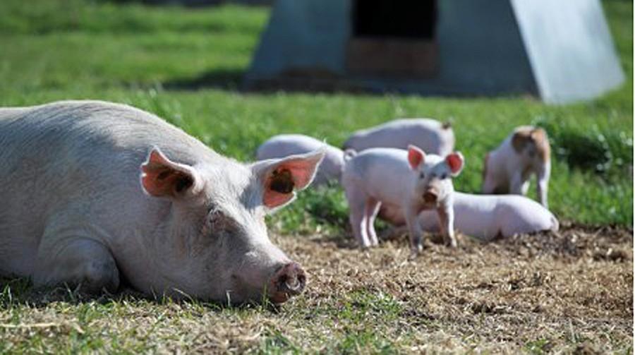 Kaip kiaulės prarado savo gerą vardą?